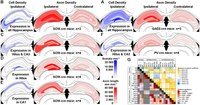 Somatostatin-Expressing Interneurons Form Axonal Projections to the Contralateral Hippocampus