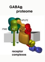 Modular composition and dynamics of native GABAB receptors identified by high-resolution proteomics
