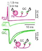 Strength and duration of perisomatic GABAergic inhibition depend on distance between synaptically connected cells.