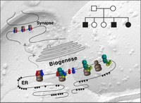 AMPA-receptor specific biogenesis complexes control synaptic transmission and intellectual ability